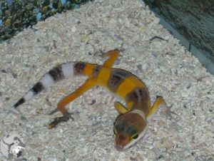 Leopardgecko baby yellow